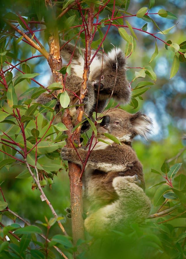 Koala - cinereus del Phascolarctos en el árbol en Australia, comiendo, subiendo fotografía de archivo libre de regalías