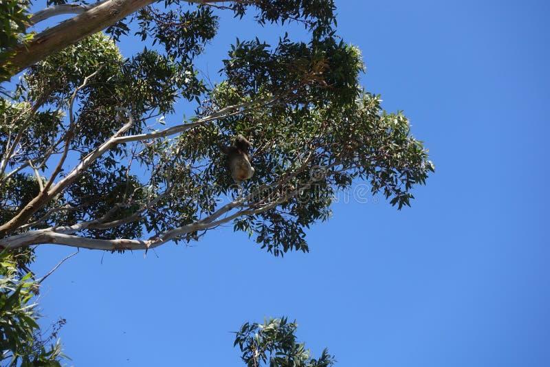 Koala climbing a tree at Otway National Park royalty free stock image