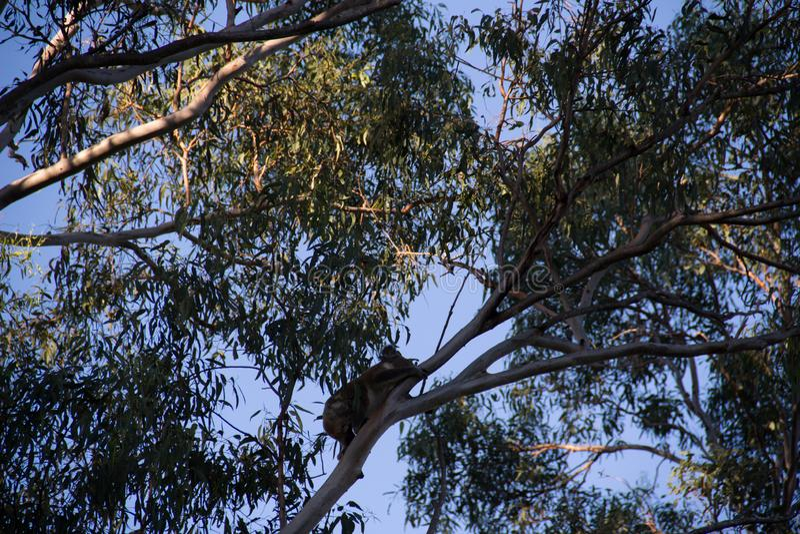 Koala climbing on the top of a eucalypt tree royalty free stock photography