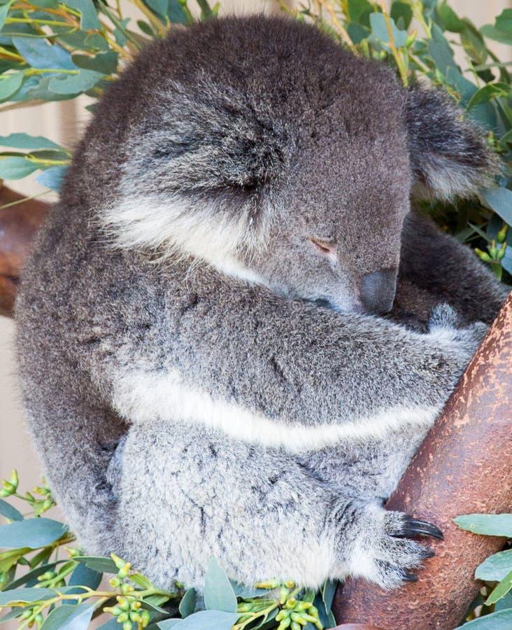 Koala clinging on to a tree stock photography