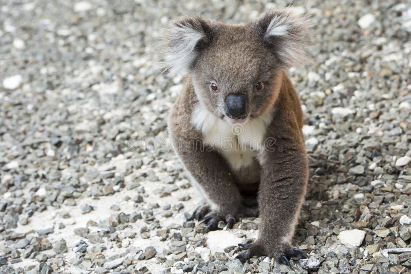 Koala, Kangaroo Island, Australia stock photography