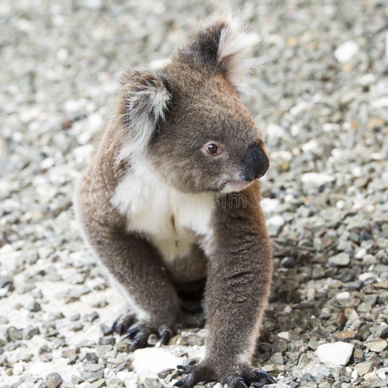 Koala, closup koala bear in the wild, Australia stock photography