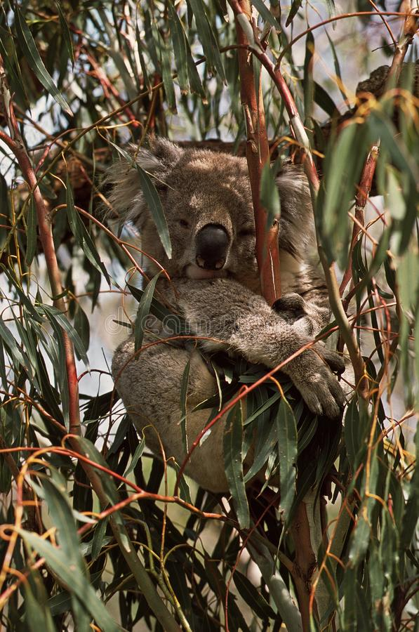 koala Coala, cinereus do Phascolarctos imagens de stock
