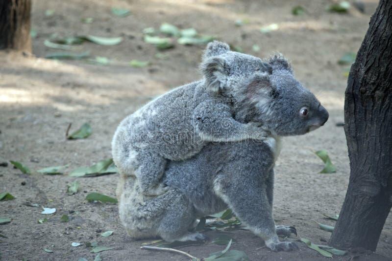 Koala com joey imagens de stock royalty free