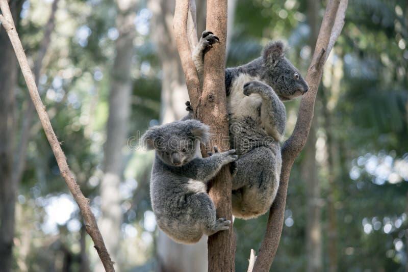 Koala com joey fotografia de stock