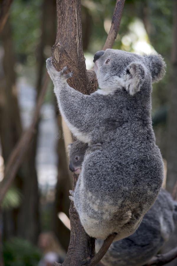 Koala com joey fotografia de stock royalty free