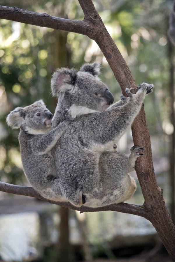 Koala com joey imagens de stock