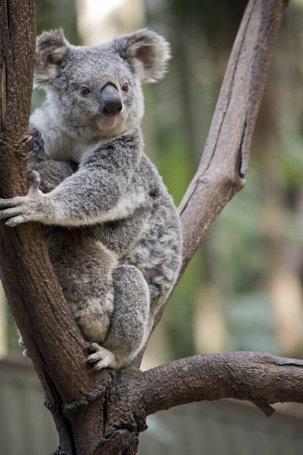 Koala com joey foto de stock royalty free