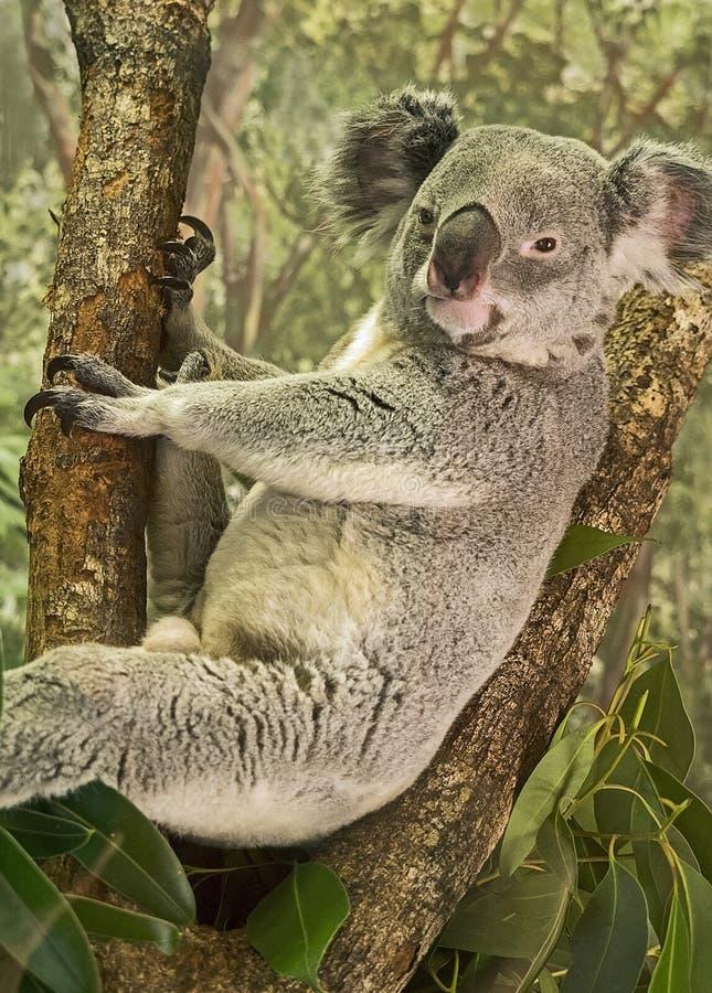 Koala contenta, linda foto de archivo