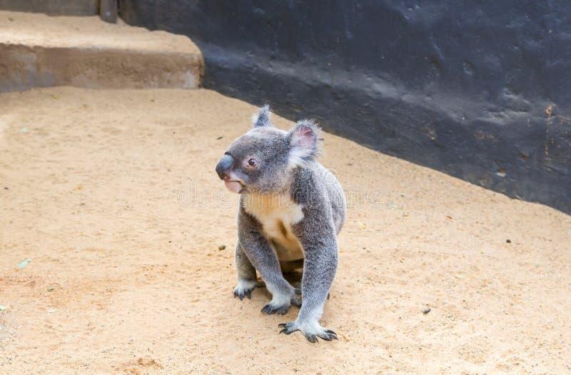 Koala curioso imágenes de archivo libres de regalías