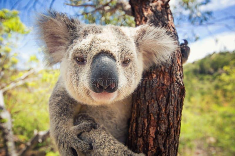 Koala. Cute Koala on the tree