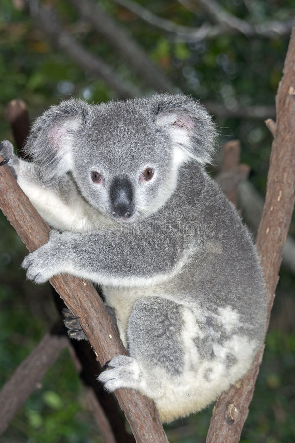 Koala dans l'arbre images stock