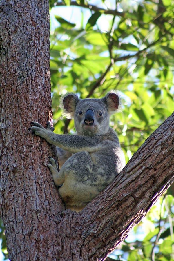 Koala dans l'arbre d'eucalyptus, Australie images stock