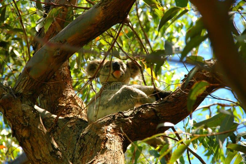 Download Koala dans les 2 sauvages photo stock. Image du port, fourrure - 1093406