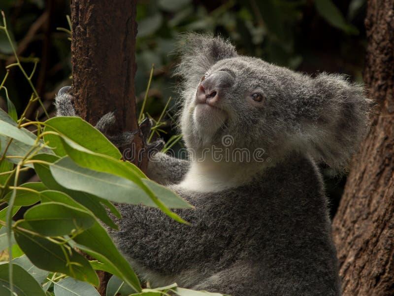 Koala dans un arbre de gomme recherchant photo libre de droits