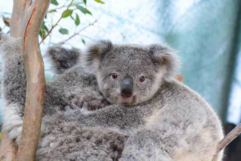 Koala de bébé Faune Sydney Zoo La Nouvelle-Galles du Sud l'australie photo libre de droits