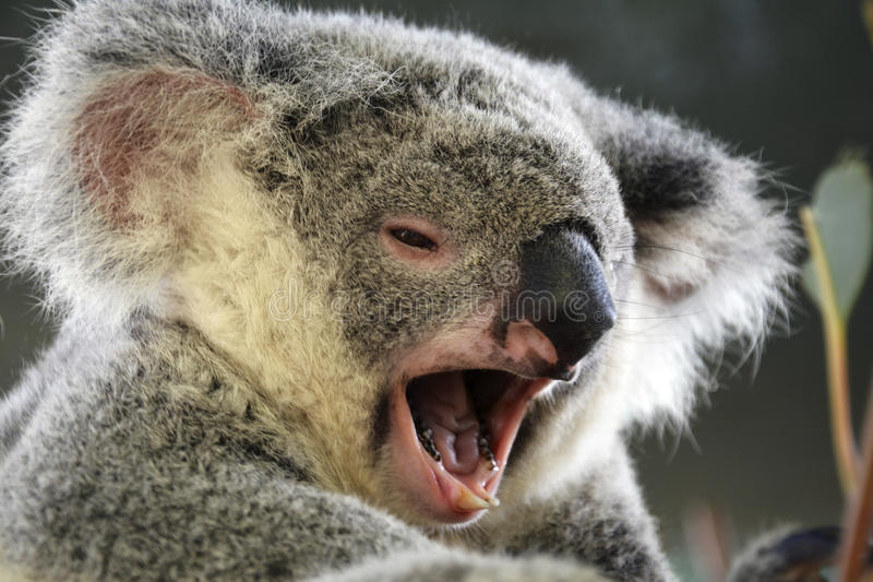 Koala de bocejo imagens de stock