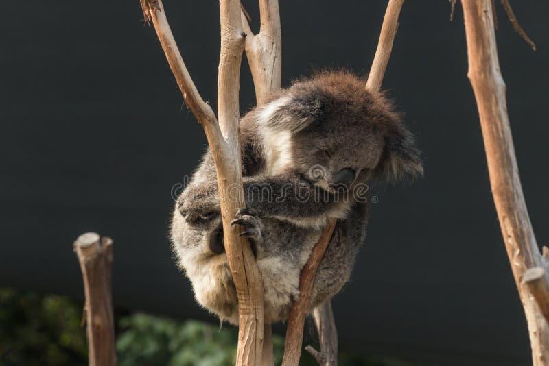 Koala de descanso imagens de stock royalty free