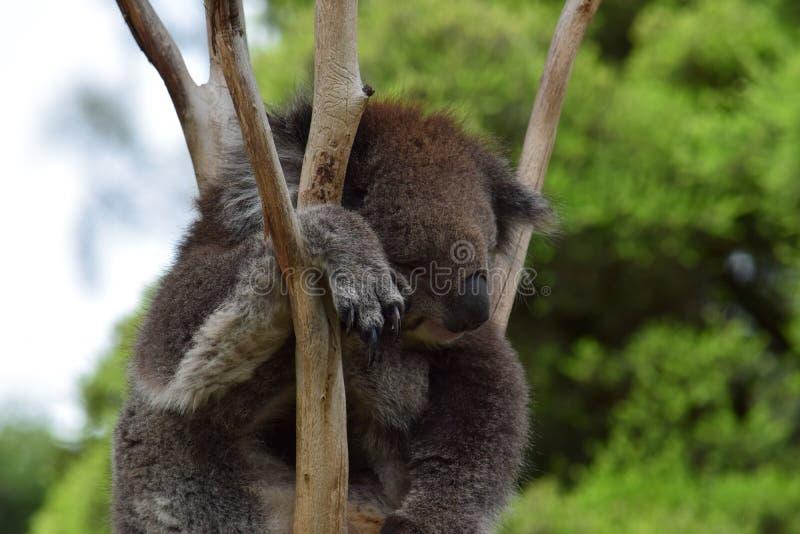 Koala de descanso fotografia de stock royalty free