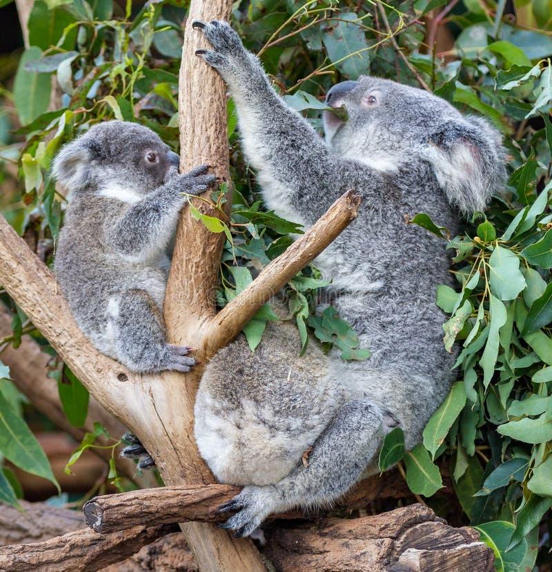 Koala de mère et deux joeys photo stock