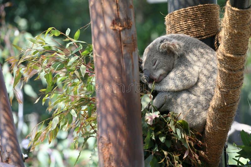 Koala In De V.S. Stock Foto