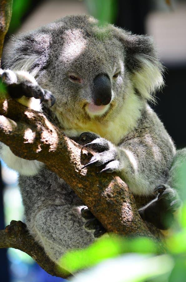 Koala de zoo de Taronga image libre de droits
