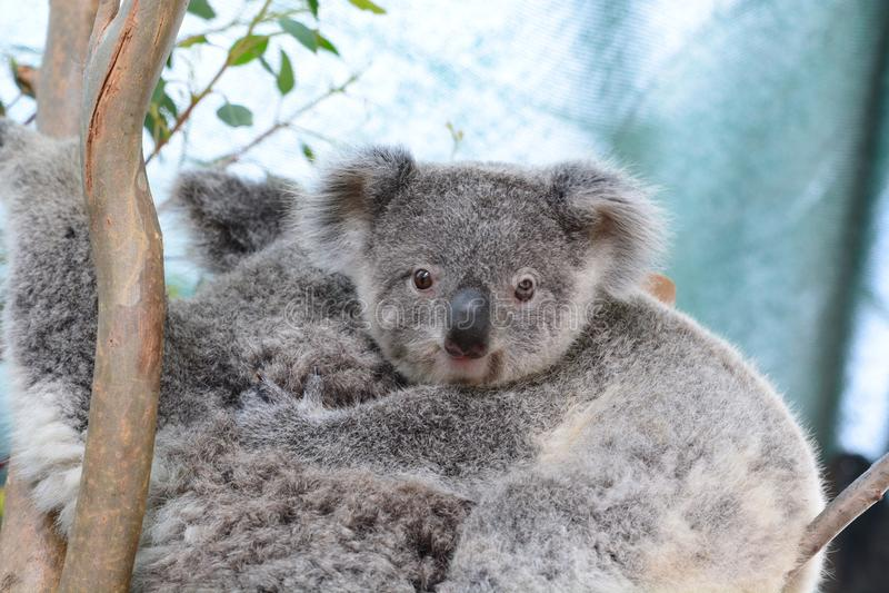 Koala del bambino Fauna selvatica Sydney Zoo Il Nuovo Galles del Sud l'australia fotografia stock libera da diritti