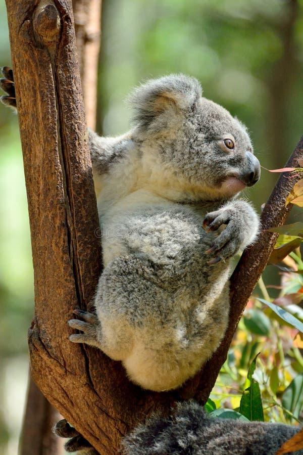 Koala del bambino sull'albero di eucalyptus fotografie stock