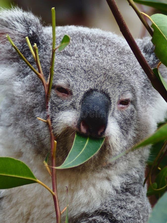 Koala deliziosa splendida che mastica sulle foglie dell'eucalyptus fotografie stock