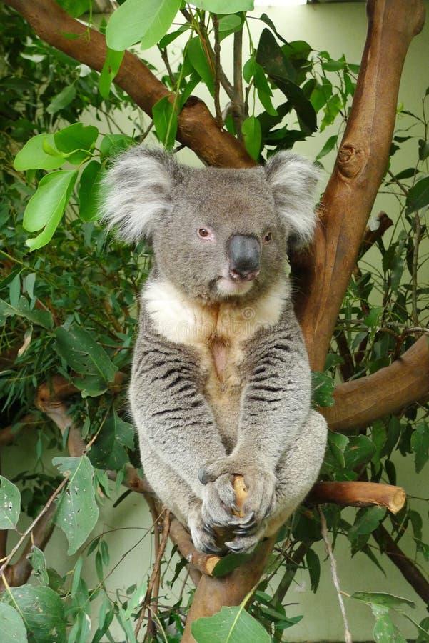Koala, der auf einem Eukalyptusbaum sitzt stockfotografie