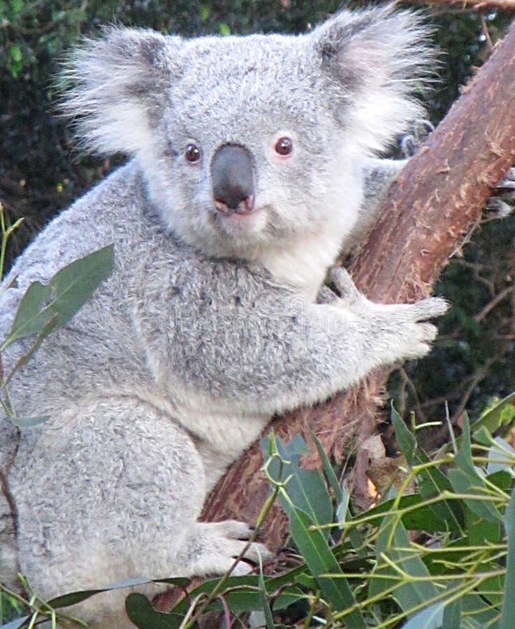 Koala, der einen Baum umarmt lizenzfreies stockfoto