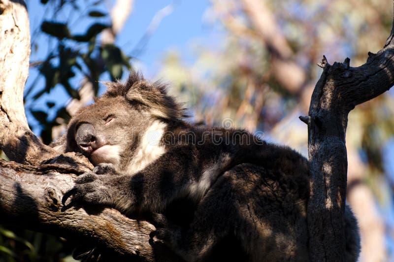 Koala di sonno - parco nazionale di Yanchep - l'Australia fotografie stock libere da diritti