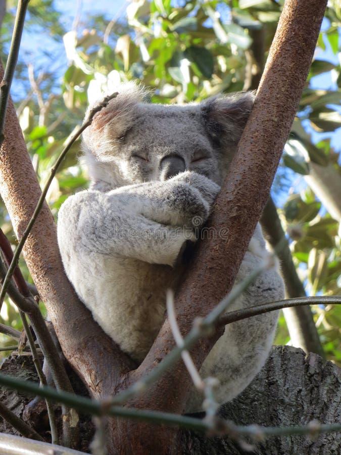 Koala di sonno sull'albero fotografia stock