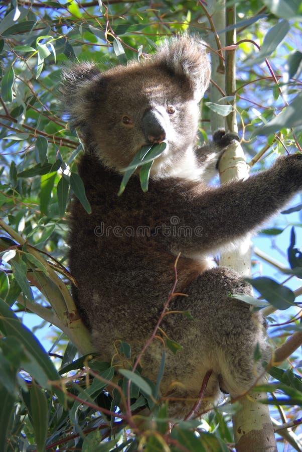 Koala die Eucalyptus eet stock foto