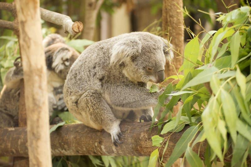 Koala die eucalyptusbladeren eet stock afbeeldingen