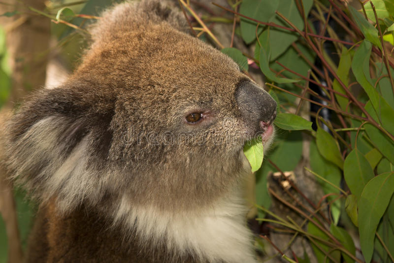 Koala die portret eet stock afbeelding