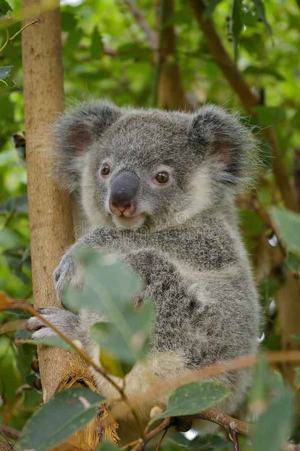 Koala do bebê fotos de stock royalty free