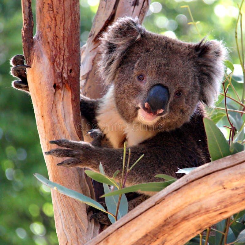 Koala do Victorian em uma árvore de eucalipto imagem de stock royalty free