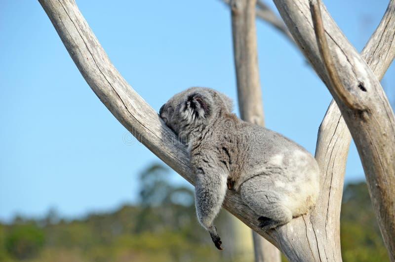 Download Koala Dormant Dans Un Arbre De Gomme Image stock - Image du herbivore, ours: 87707197
