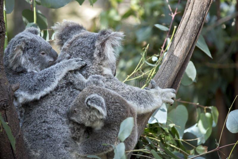 Koala e Joey fotos de stock royalty free