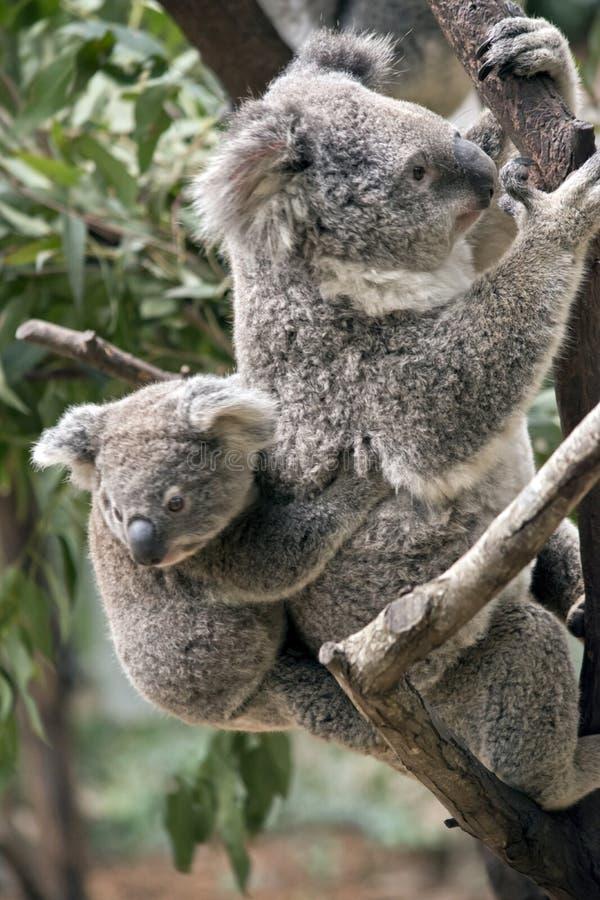 Koala e Joey fotos de stock