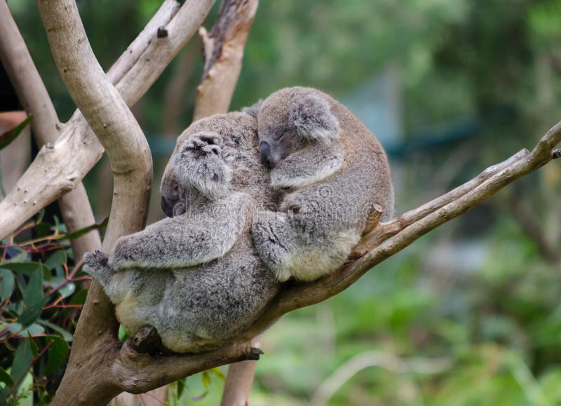 Koala e koala do bebê imagem de stock