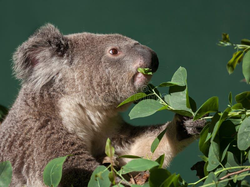 Koala eating gum tree leaves royalty free stock photos