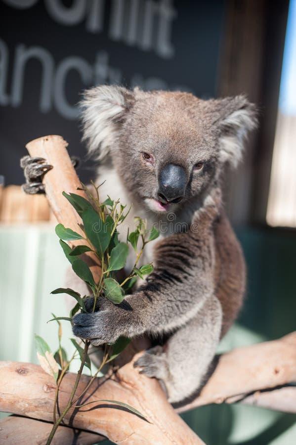 Koala eating leaves royalty free stock photography