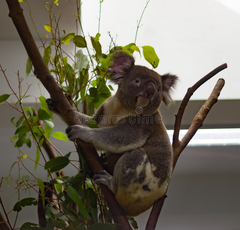 Koala eating and looking around. A koala looking off into the distance stock photography