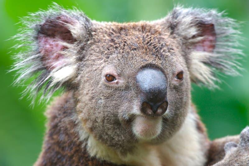 Koala em Austrália fotos de stock