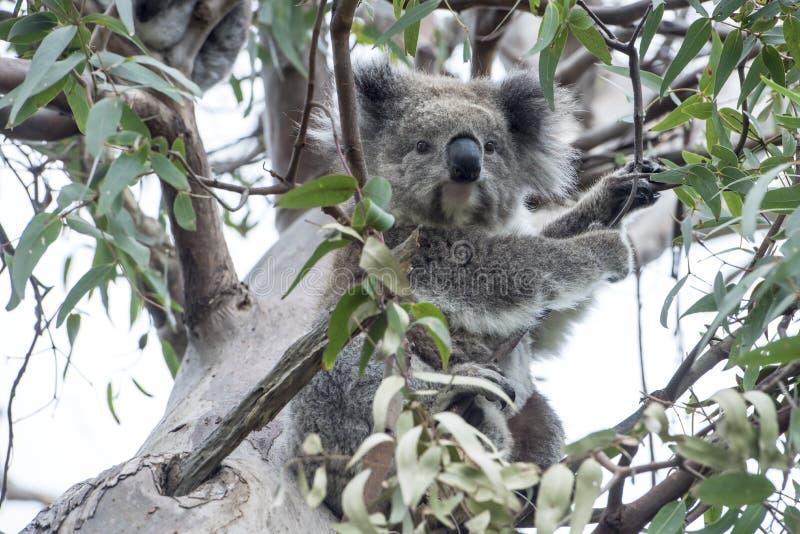 Koala en árbol de eucalipto imagen de archivo