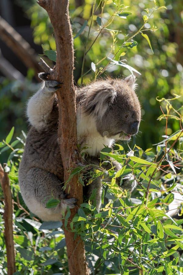 Koala en árbol que come las hojas del eucalipto fotografía de archivo