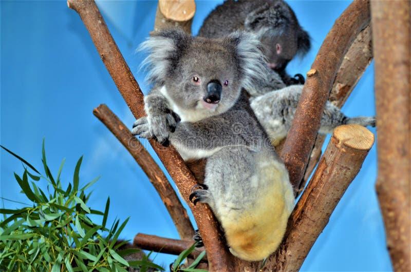 Koala en un árbol de eucalipto imagenes de archivo