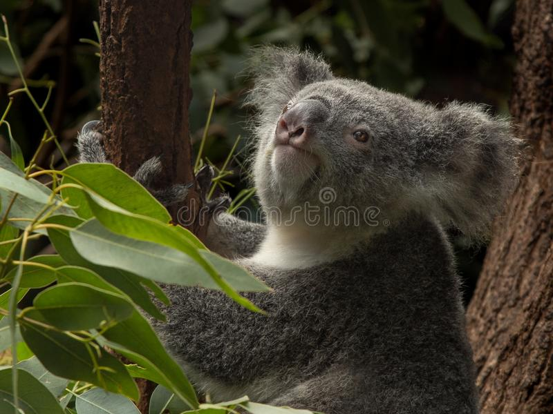 Koala en un árbol de goma que mira para arriba foto de archivo libre de regalías